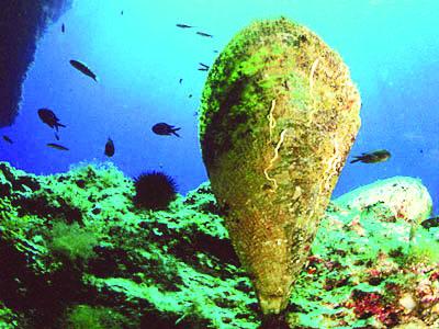 Giant mollusc in danger