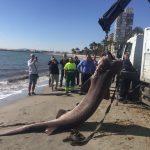3.6 metre shark found in Santa Pola