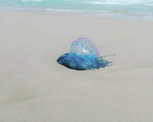 Costa Blanca beach shut after Portuguese Man O War sighted