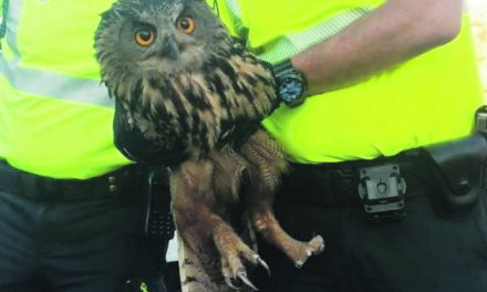 Eagle owl rescued from Elche motorway